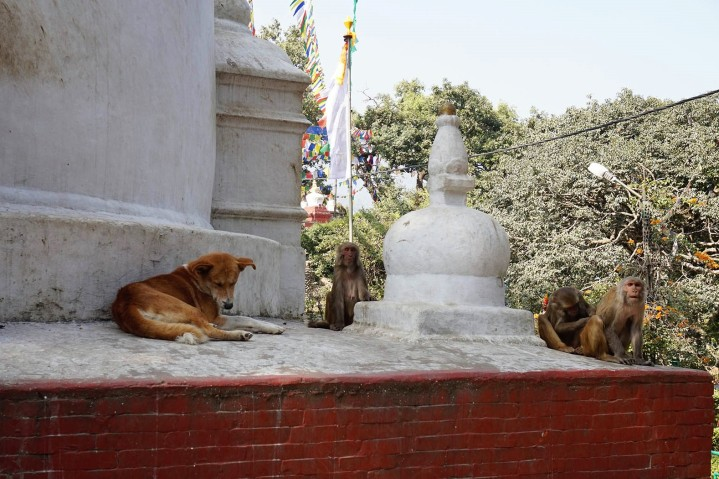 dogs-and-monkeys-katmandou-nepal