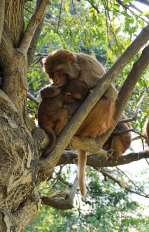 hug-monkeys-nepal-katmandou