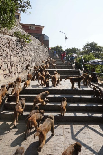 monkeys-singes-stairs-escaliers-katmandou-nepal