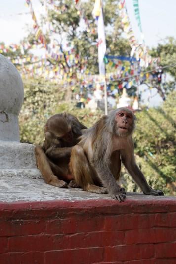 monkeys-singes-swayambhunath-nepal-katmandou