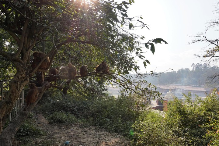 monkeys-tree-nepal-pashupatinath-katmandou