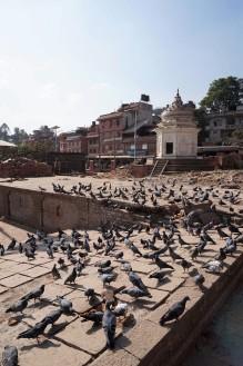 pigeons-katmandou-nepal