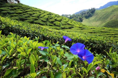 asie-malaisie-cameron-highlands-tanah-rata-45