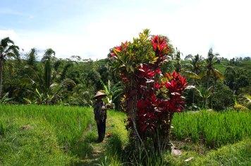 Asie-Indonesie-Bali-Jatiluwih-45