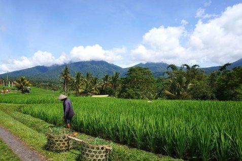 Asie-Indonesie-Bali-Jatiluwih-58