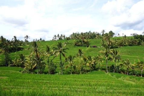 Asie-Indonesie-Bali-Jatiluwih-61