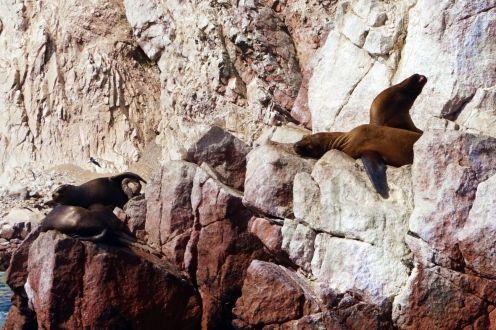 Pérou Paracas Islas Ballestas 55