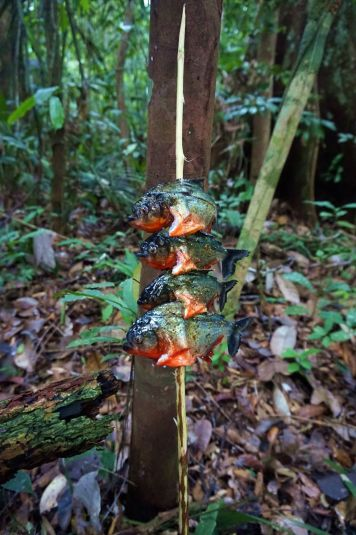 Bresil Manaus Jungle 146